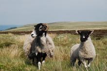Sheeps At Ilkley Moors