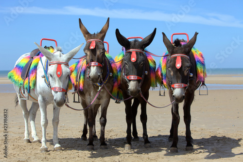 Montage in der Fensternische Esel Donkeys at a beach resort in UK