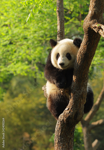 Cute panda cub Canvas Print