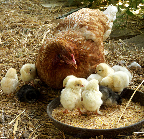 Fotografia  Hühnerfamilie