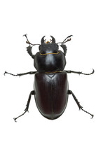 Crawling  Female Stag Beetle (...