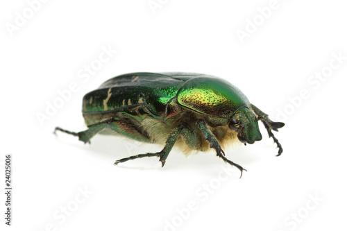 Valokuva Flower chafer (rose chafer, Cetonia aurata) beetle