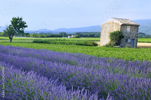 Photo Stands Lavender culture de la lavande