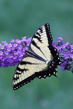 Tiger Swallowtail (papilio Glaucas) Butterfly