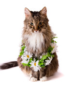 Cat With Garland