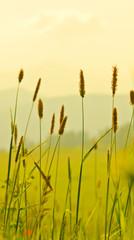 Naklejka Eko Green spikes of grass at sunset field