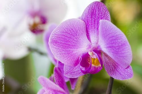 Fototapeta orchidea   purpurowe-kwiaty-orchidei