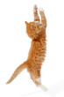 canvas print picture Jumping kitten