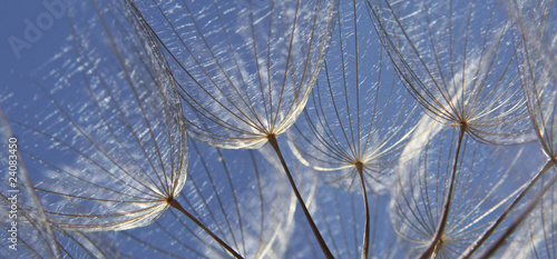 Canvas Prints Dandelions and water Blowball seed, Pusteblume