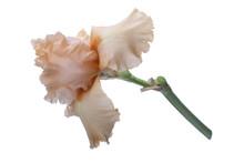 Apricot Iris On White