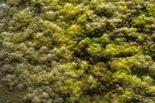 Algae Bubbles