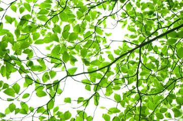 Fototapeta Do szkoły fresh green leaves
