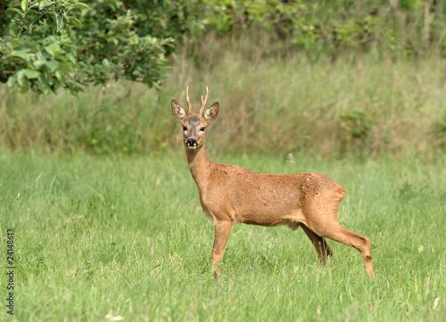 In de dag Ree Chevreuil - Roe Deer (capreolus capreolus)