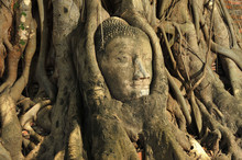 Head Of Buddha In The Tree In ...