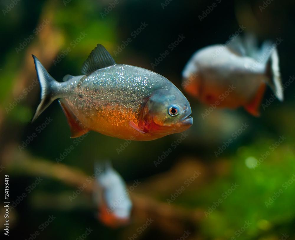 Valokuva  piranha