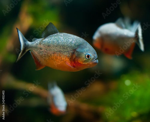 Photo  piranha