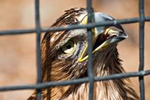 Prisoner. Close Up Eagle Inside Cage. Shallow Depth Of Field