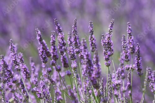 Spoed Foto op Canvas Lavendel lavande 2