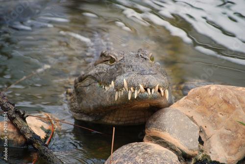 Foto op Plexiglas Krokodil belle mâchoire!
