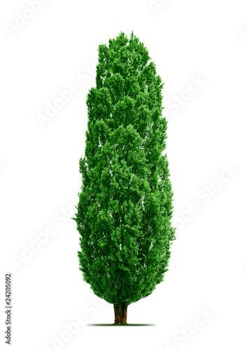 Photo poplar tree isolated
