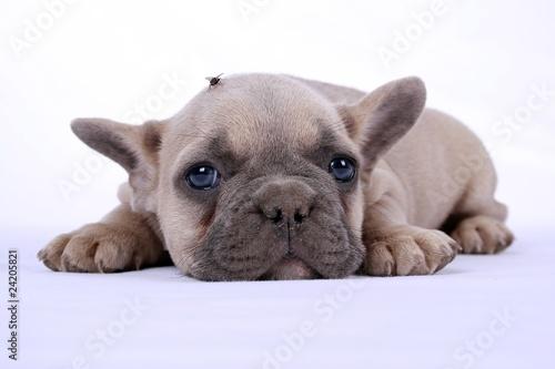 Foto op Plexiglas Franse bulldog French Bulldog Puppy & Fly