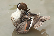 Preening Duck 8373