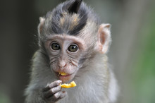 Barbary Macaque Monkey Eating ...