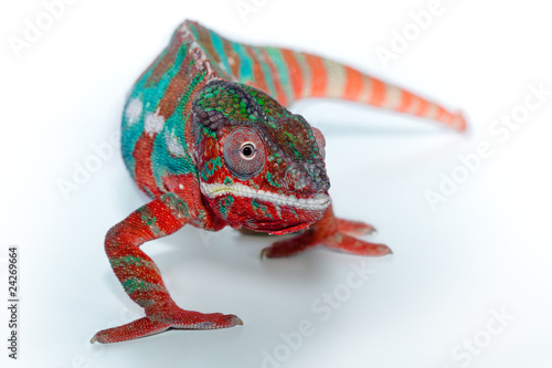 Staande foto Kameleon camaleonte furcifer pardalis