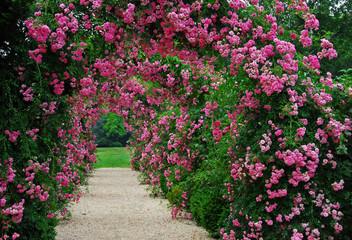 FototapetaPergola with pink blooming roses