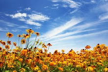 Flower Field And Blue Sky