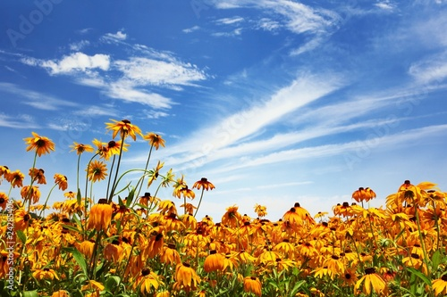Fotografering Flower field and blue sky