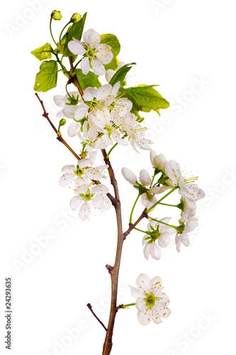 white cherry blossom macro