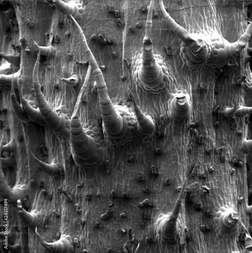 Photo  scanning electron microscopic image sunflower leave