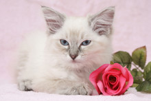 Beautiful Ragdoll Kitten With ...