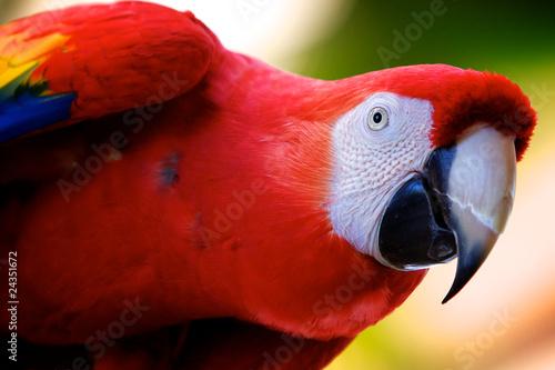 Autocollant pour porte Perroquets Scarlet Macaw