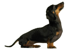 Black Dachshund Sausage Dog Pu...