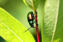 Dogbane Leaf Beetle - Chrysoch...