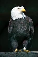 Captive Bald Eagle