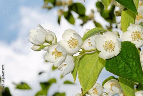 Photo  Blütenzweig vom Pfeifenstrauch (2)