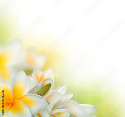 frangipani-spa-flowers-border-plumeria