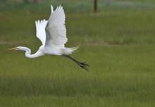 Great Egret (Ardea Alba) In Flight Over Grass