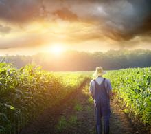 Farmer Walking In Corn Fields ...
