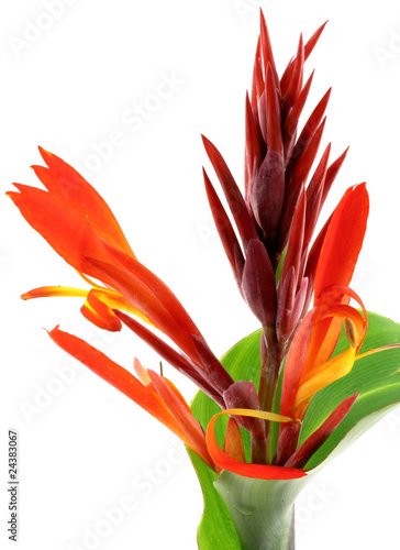 Fleur De Canna Indica Fond Blanc Buy This Stock Photo And Explore