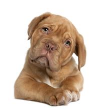 Dogue De Bordeaux Puppy, 10 We...