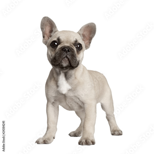 Foto op Aluminium Franse bulldog Portrait of French bulldog standing in front of white background