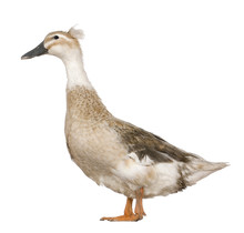 Female Crested Duck, 3 Years O...