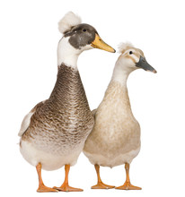 Male And Female Crested Ducks, 3 Years Old, Standing