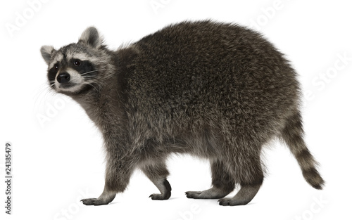 Raccoon, 2 years old, walking in front of white background Fototapet