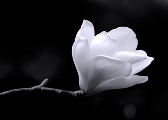 B&W image of a magnolia flower.