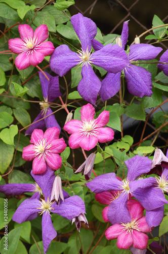 Blaue und rubinrote Clematis - Blüten und Blätter<br>@ p(AS)ob
